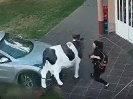 Milagro: una vaca de utilería le salvó la vida a una mujer
