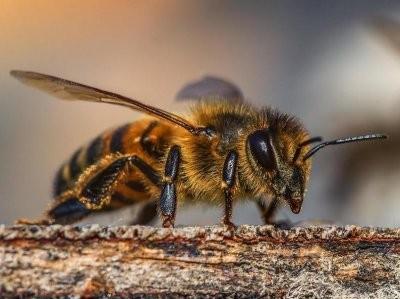 Murió tras ser atacado por un enjambre de abejas