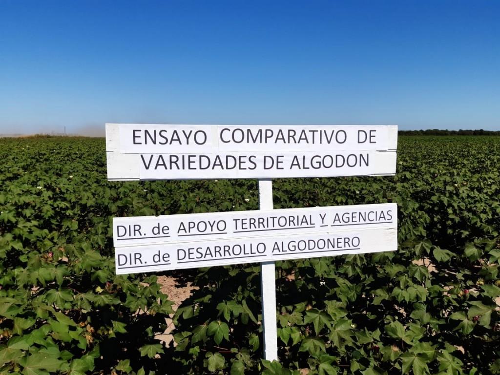 Realizaron ensayos comparativos de variedades de algodón
