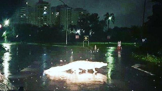 Por las inundaciones en Brasil aparecen yacarés nadando en las calles