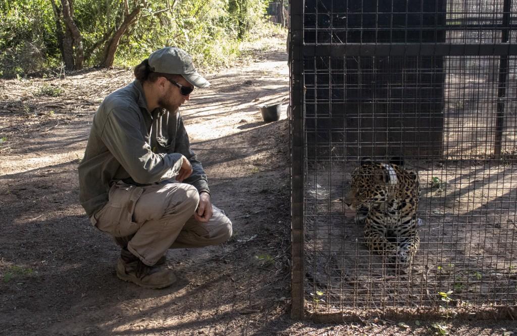 Con el arribo de la yaguareté Isis al parque nacional El Impenetrable se logró el reingreso de Garamta a la zona protegida