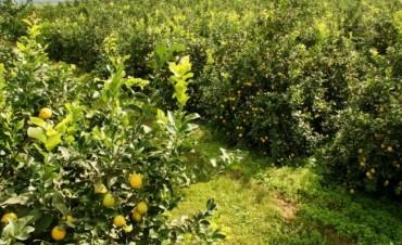 El Servicio Nacional de Sanidad y Calidad Agroalimentaria (Senasa) informa que se detectaron tres plantas positivas al Huanglongbing (HLB)