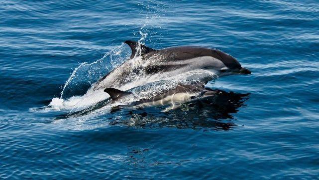 La conmovedora lucha de un delfín por mantener a flote a su cría muerta