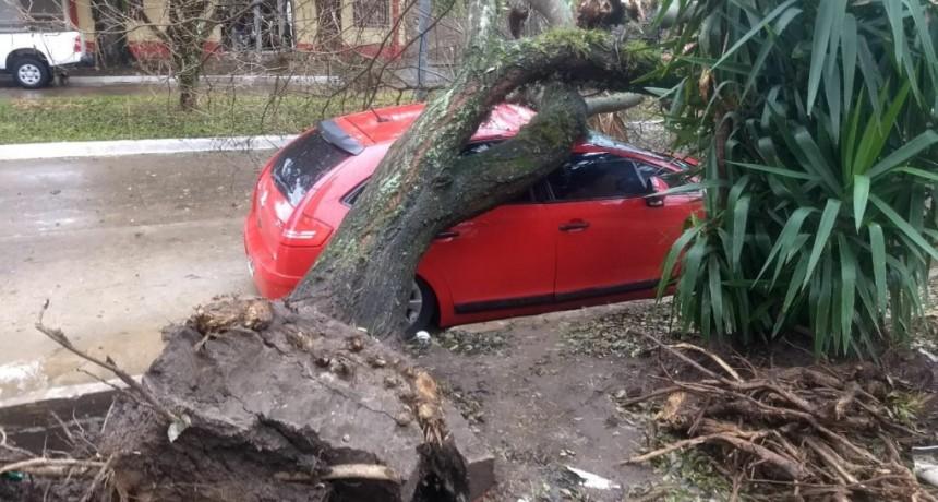 El municipio aclara sobre la caída de árbol en avenida Italia