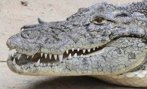 Cazador atrapa al cocodrilo más grande del mundo