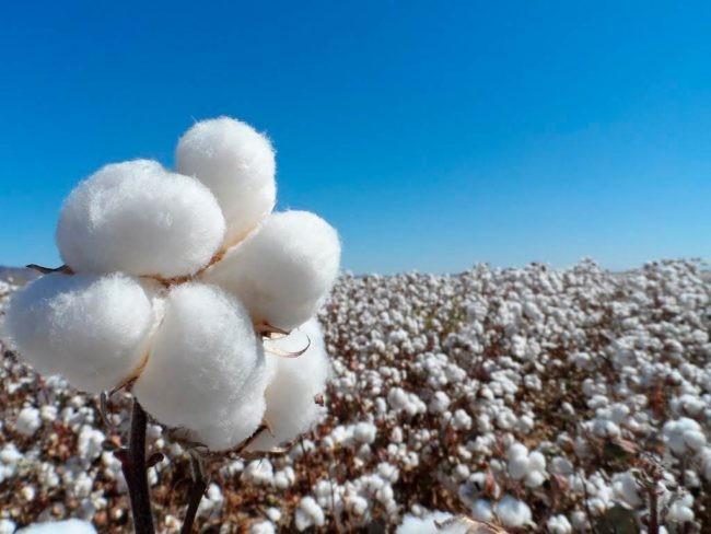 Chaco: La Provincia solicitó extender hasta el 15 de diciembre el límite para la siembra de algodón