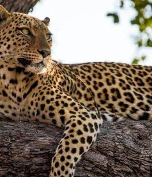 Leopardo entró en una casa, raptó a un nene y se lo comió en la selva